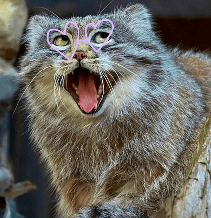 Adorable Manul Cat